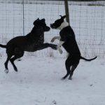 thor fair dog1