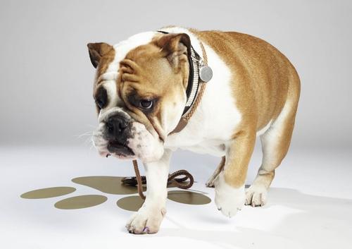 """Geschicklichkeit, Charisma und das """"gewisse Etwas"""": Hat Waddle eine Chance, das nächste """"Top Dog Model"""" zu werden? © 12 Yard Productions/ITV"""
