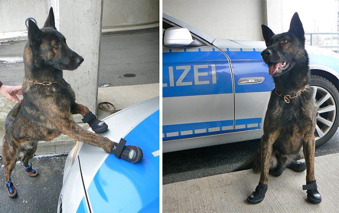 Diensthund Rico mit Spezialschuhe