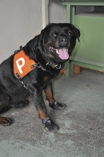 Diensthund Bonito der Stadtpolizei Zürich mit Spezialschuhe