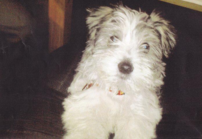 Hundediebstahl Yorkshire-Malteser-Mix
