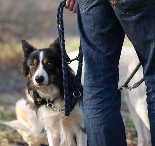 Border Collie an der Leine