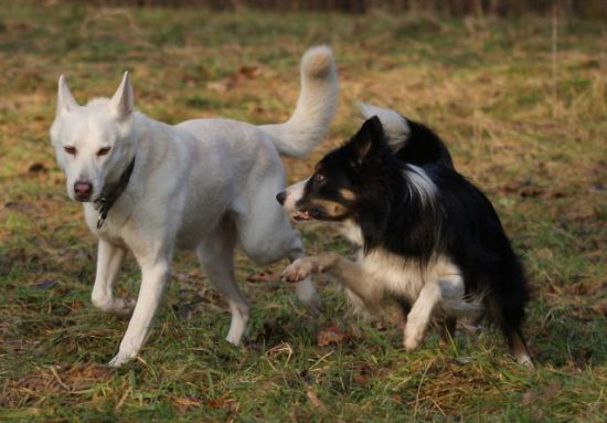 Border Collies and white dog