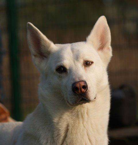 Schäferhund-Husky-Mix ist sich nicht sicher