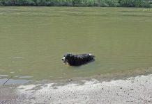 Berner Sennenhund im Wasser