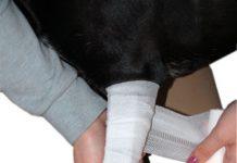 hund-erste-hilfe-bandagebein