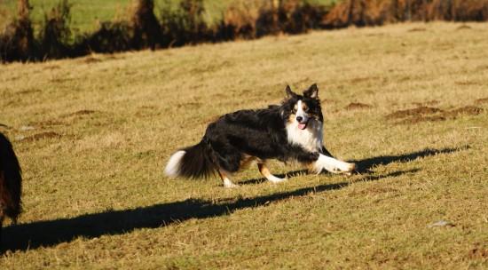 Border Collie Hund bereit wenn die Arbeit ruft.