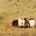 Hütearbeit auf hundkatzemaus – Oder auch Agility am Schaf