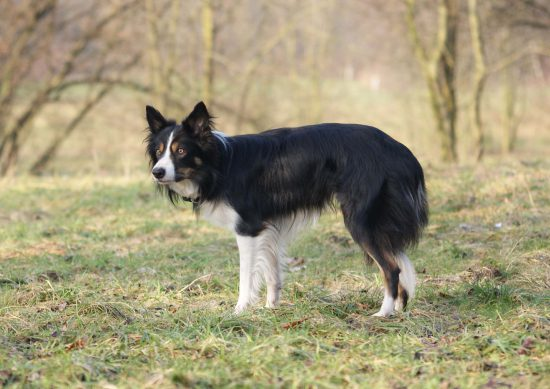 Border Collie Nothund