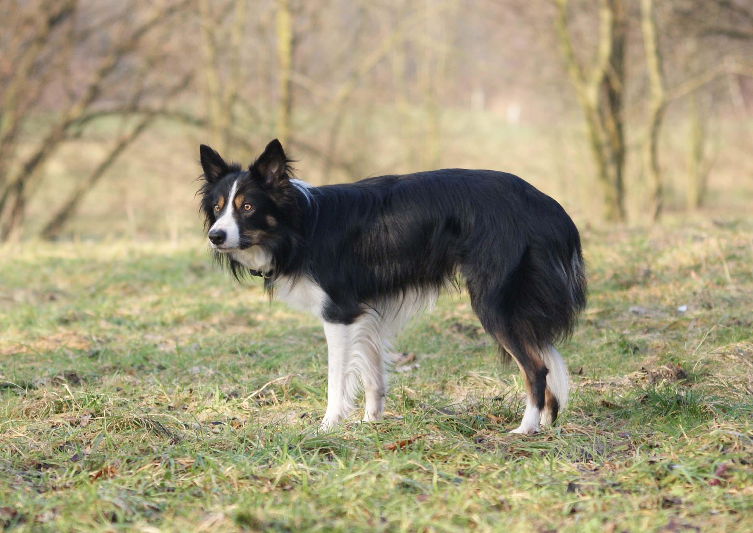 Border Collie A Problem Dog Planet Hund