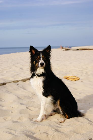 Border Collie Strand