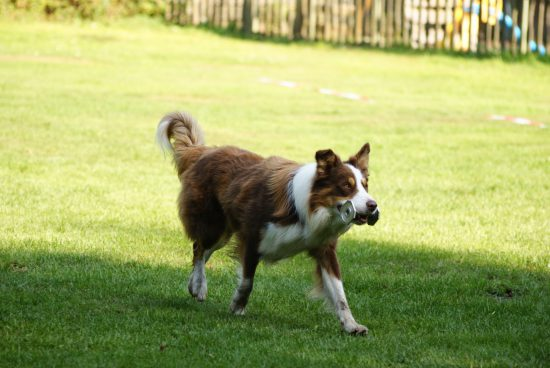 Border Collie Obedience Metall-Apport