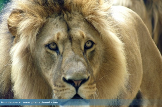 Afrikanischer Löwe Zoo Schönbrunn
