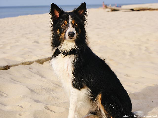 Border Collie A Problem Dog Planet Hund