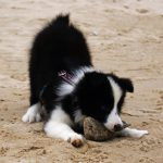 Border Collie Welpe am Strand
