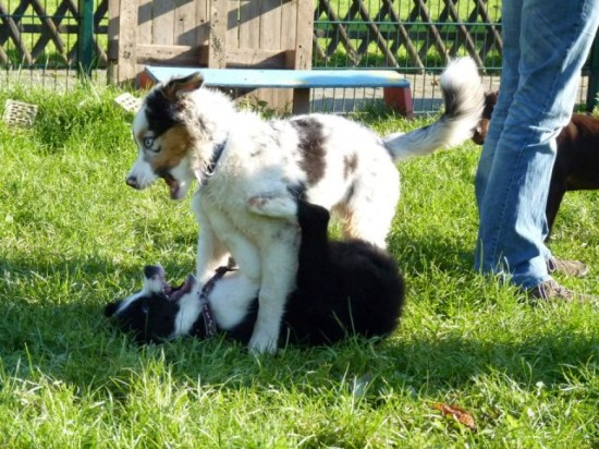 Border Collie Australien Shepherd Spiel