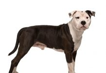 Hunderasse American Staffordshire Terrier