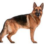 Hunderasse: Deutscher Schäferhund
