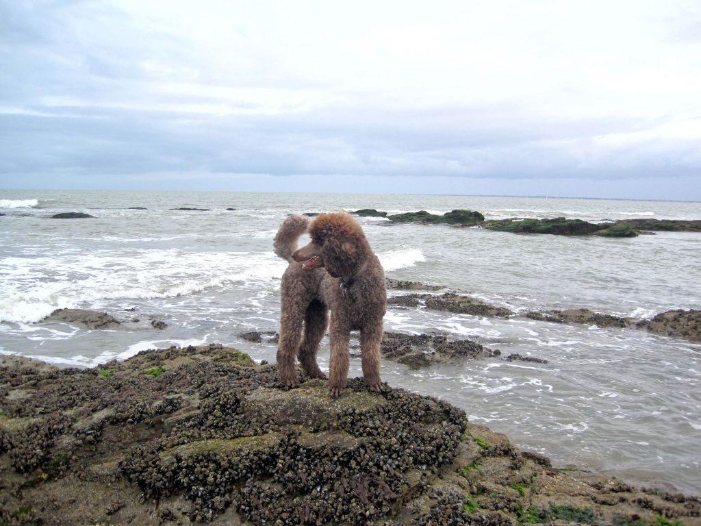 Grosspudel Meer