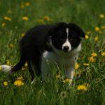 Ein Welpe kommt ins Haus: Grundlagen über das Zusammenleben mit dem neuen Hund