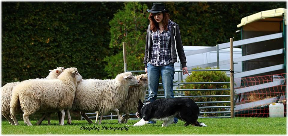 Border Collie Dino beim Schafe hüten