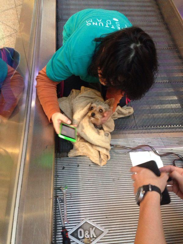 Yorkshire Terrier Nico auf der Rolltreppe