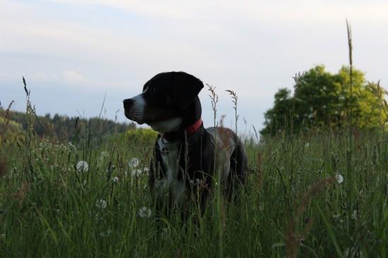 Großer Schweizer Sennenhund Gras