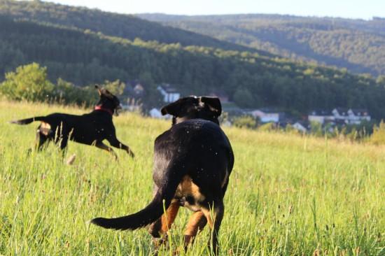 Hunde rennen grüne Wiese