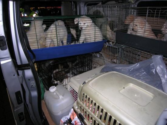 illegaler-hundewelpen-transport