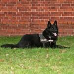 Berlin: Polizeihund Baron fängt zweifachen Handtaschendieb