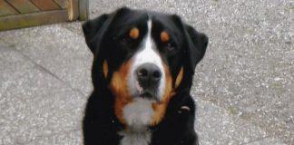 schweizer-sennen-hund-leo