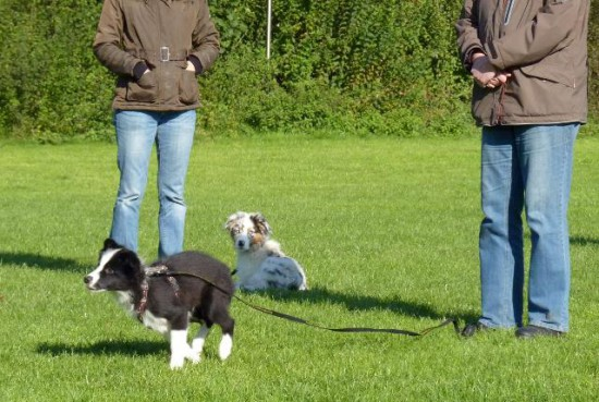 Hunderasse Border Collie Barney Abruf