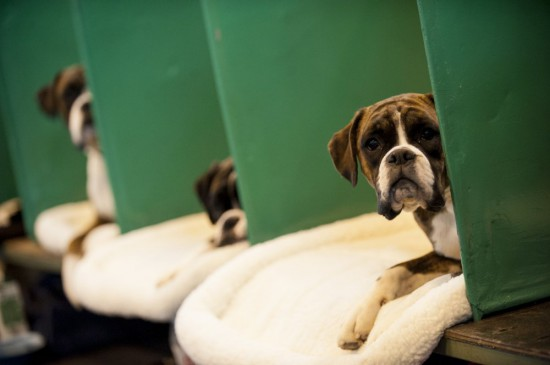 Crufts Boxer