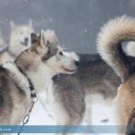 Huskyranch in Hohentauern geräumt: 80 Hunde müssen untergebracht werden