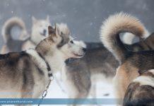 Huskys Schlittenhunde