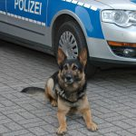 Polizei-Schäferhund Henri spürt Drogenschmuggler auf
