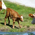 Wanderer und Husky auf der Hohen Veitsch von Kuhherde verletzt