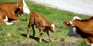 Kühe Alm