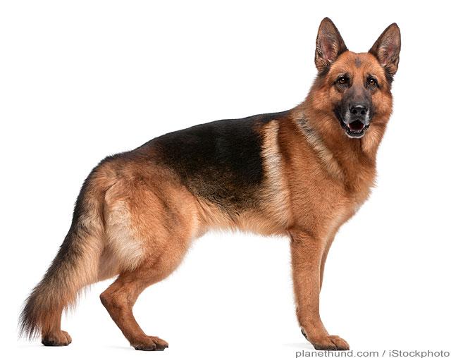 Deutscher Schäferhund Hunderasse
