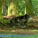 Eine Geschichte von Wölfen – Dokumentarfilm