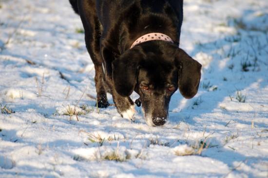 Schnee Hund Spuren