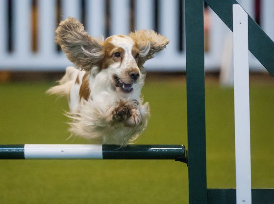 crufts 2015 agility competition