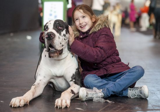 crufts 2015 great dane zeus