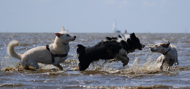 Drei Hunde spielen Meer