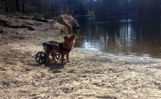 Hund mit Rolli