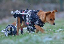handicap-hunde-foxy-rolli