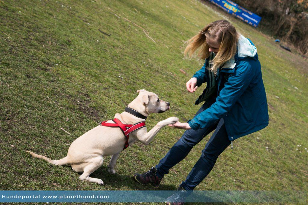 Tierheimhund Pitbull Mischling