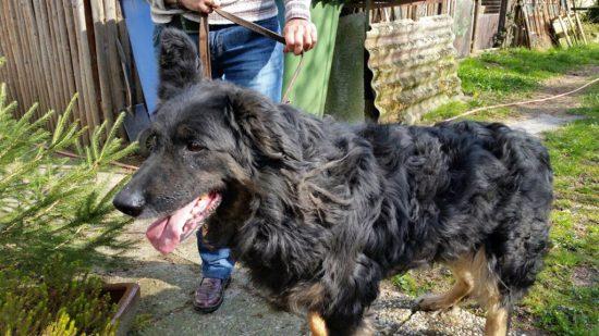 vermitttlung_altdeutscher schaeferhund paul1