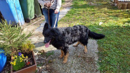 vermitttlung_altdeutscher schaeferhund paul2
