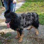 vermitttlung_altdeutscher schaeferhund paul3